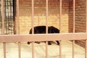 В Харьковской области ягуар напал на 26-летнюю женщину